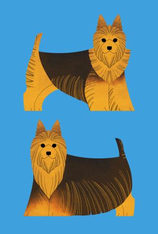 Australian Terrier and Silky Terrier