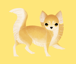 Chihuahua (Long Haired)